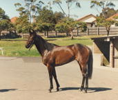 Race mare &quot; Nerthus &quot;, [portrait], Canterbury (suburb), 1989